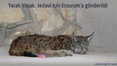Yaralı Vaşak, tedavi için Erzurum'a gönderildi