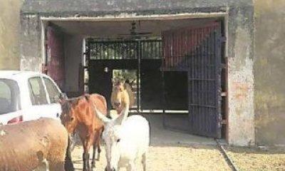 Hindistan'da hapisteki eşekler serbest bırakıldı