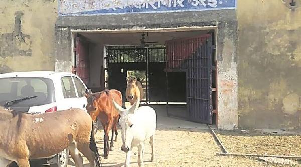 Hindistan'da hapisteki eşekler serbest bırakıldı Hindistan'da hapisteki eşekler serbest bırakıldı hindistanda hapisteki esekler serbest birakildi