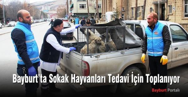 Bayburt'ta Sokak Hayvanları Tedavi İçin Toplanıyor
