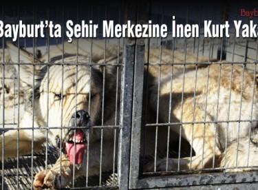 Bayburt şehir merkezine inen kurt yakalandı