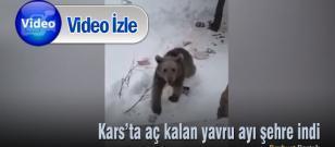 Kars'ta aç kalan yavru ayı şehre indi